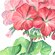 Pelargonium Illustration